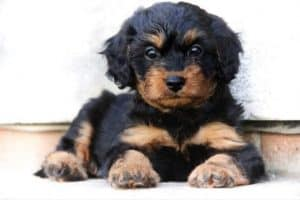 Breed- Cavoodle dog